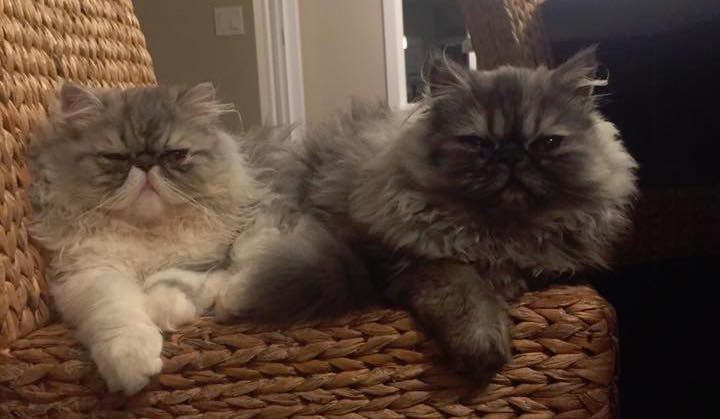 Persian cat rescue ashburn va