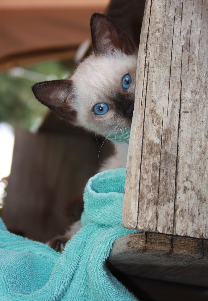 Surrendering a Cat – Specialty Purebred Cat Rescue