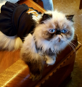 Persian cat rescue nc