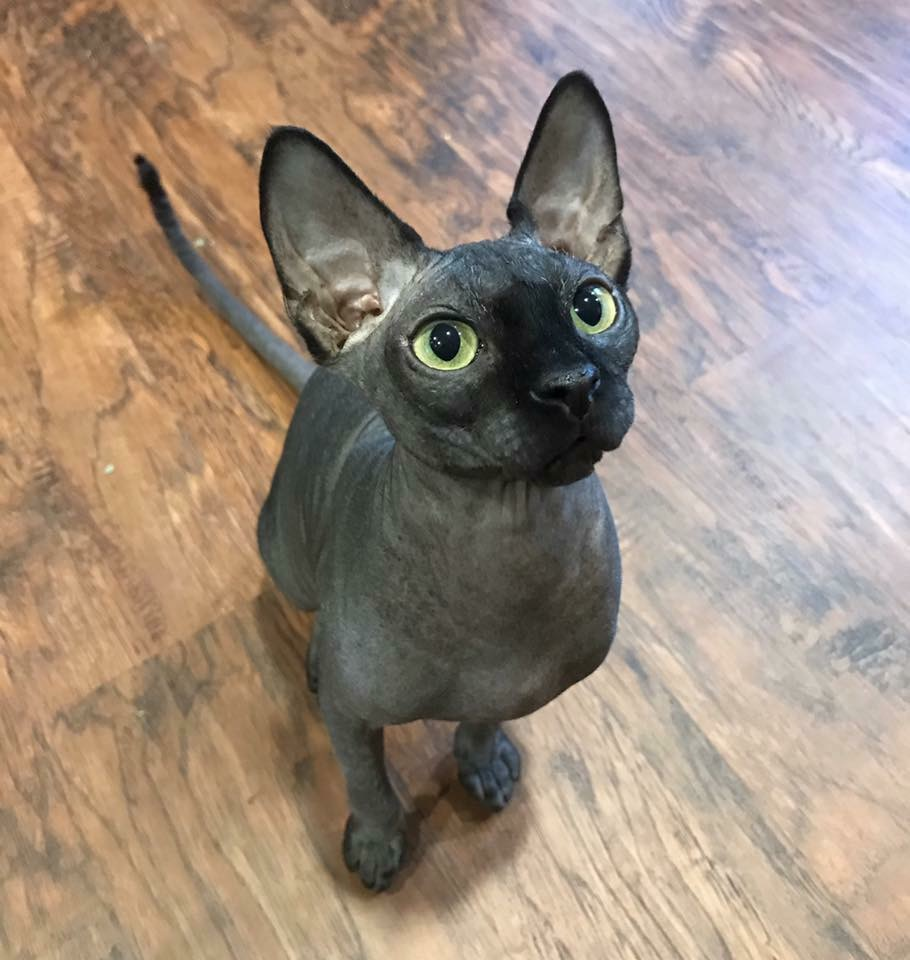 Sphynx Hairless Cat Rescue