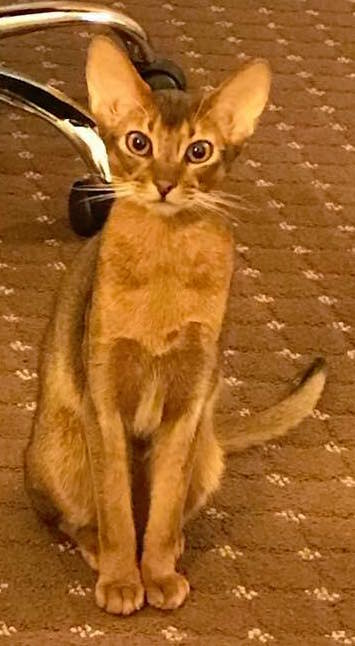 Abyssinian cat rescue pictures