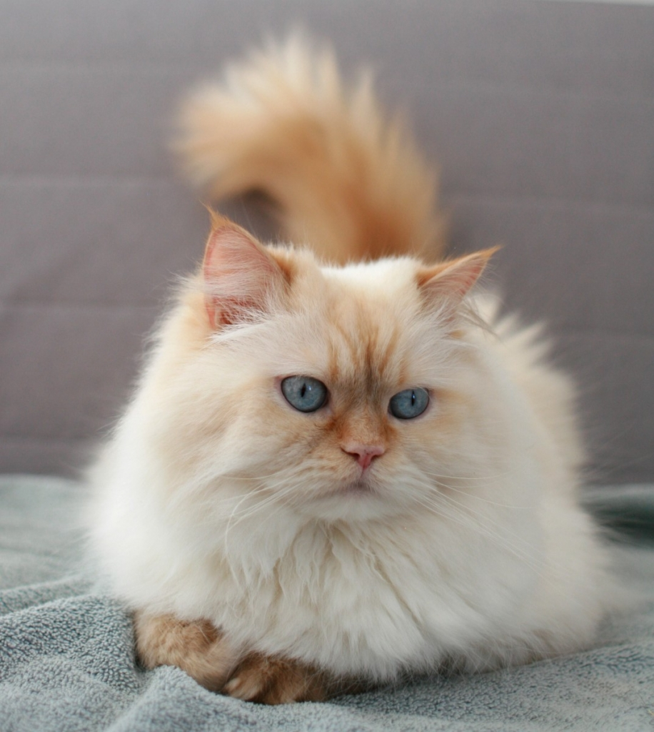 Himalayan – Specialty Purebred Cat Rescue