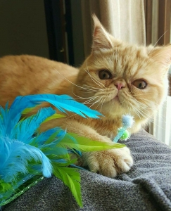 Exotic Shorthair – Specialty Purebred Cat Rescue