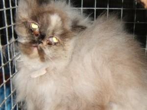 Persian cat rescue cornwall