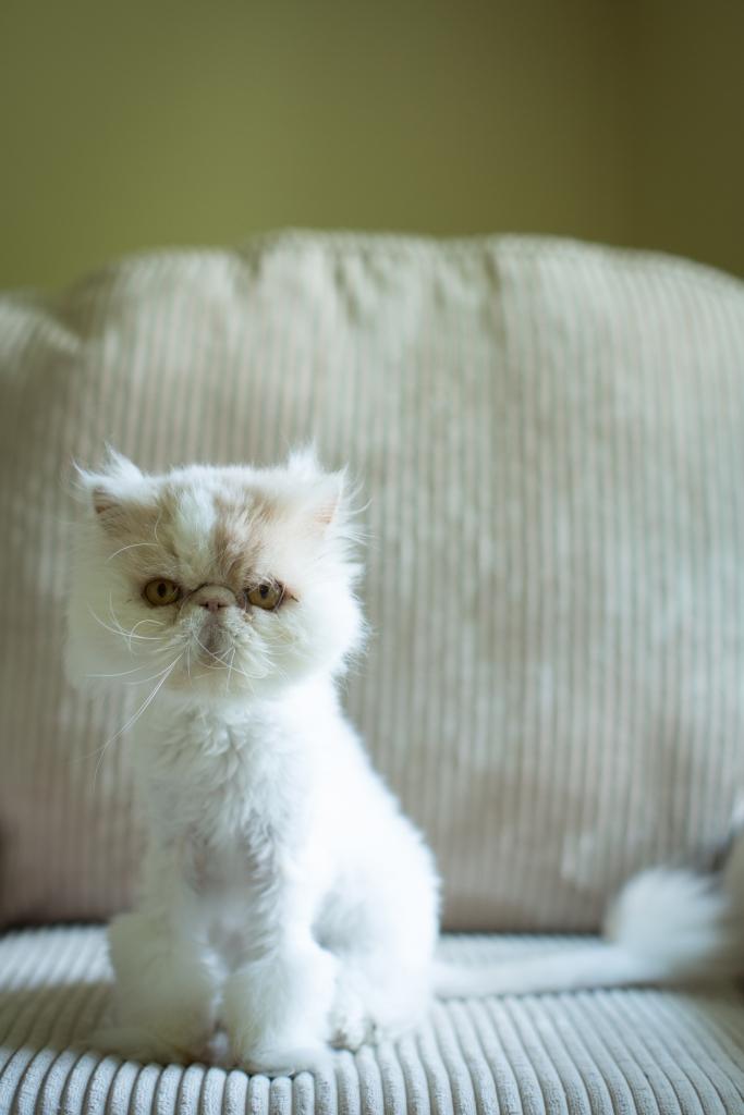 Persian purebred & purrbaby cat rescue