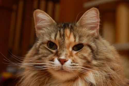 Maine Coon \u2013 Specialty Purebred Cat Rescue