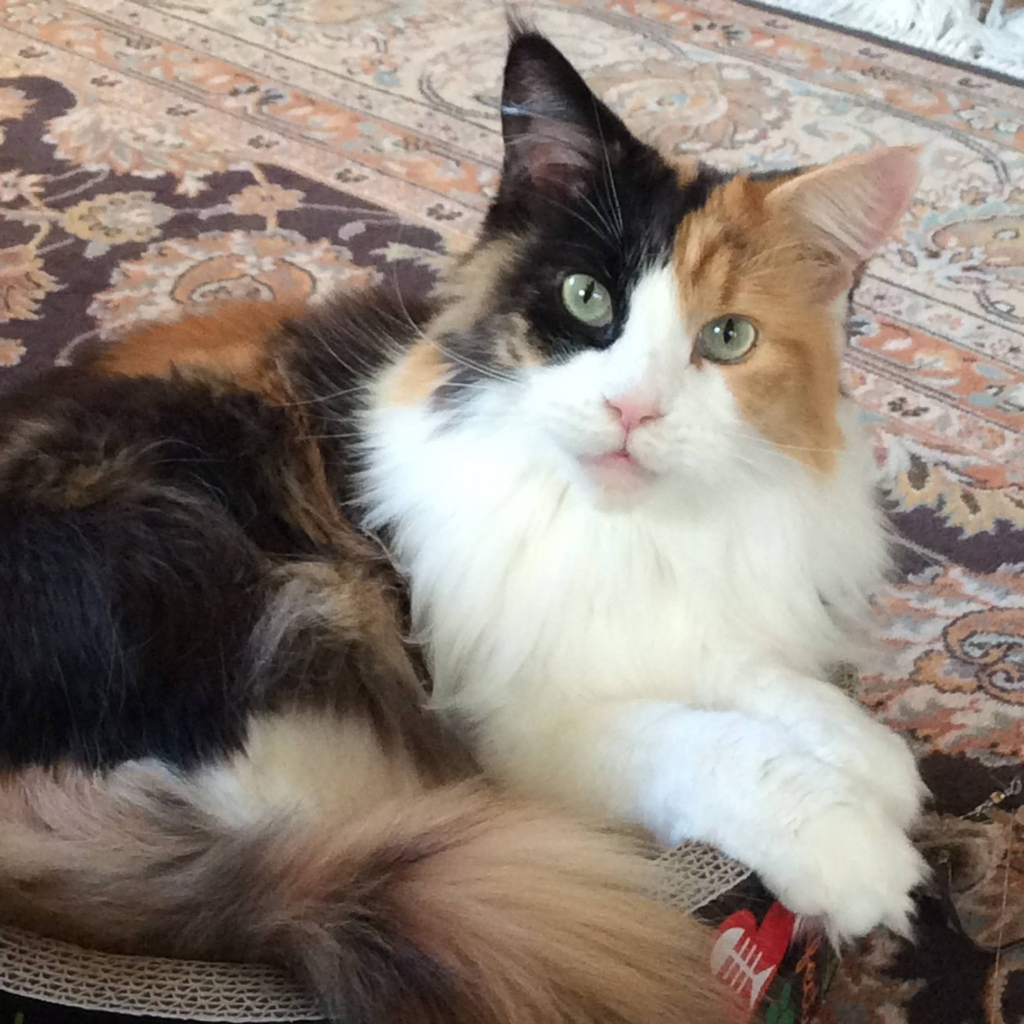 Maine Coon – Specialty Purebred Cat Rescue