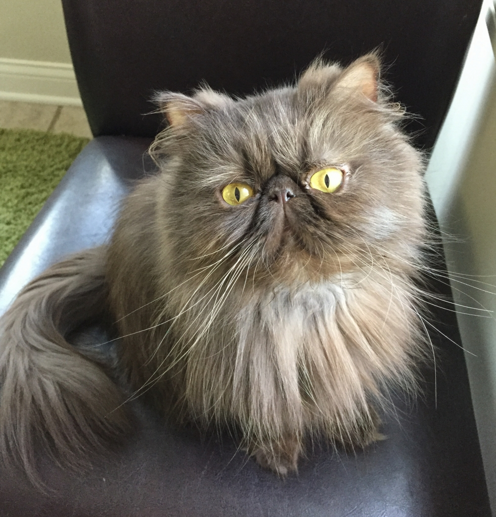 Persian Specialty Purebred Cat Rescue