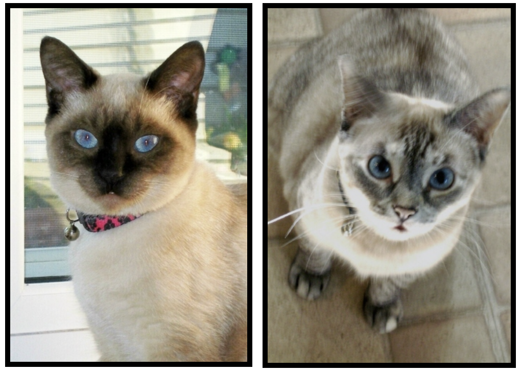 Zoey and Gracie – Specialty Purebred Cat Rescue