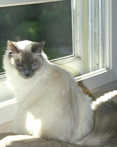 Binx Specialty Purebred Cat Rescue