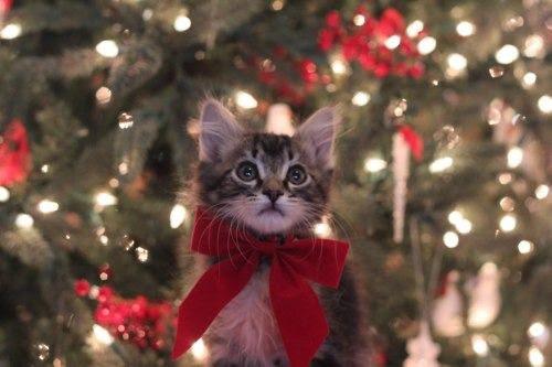 Cat Adoption Team Intake