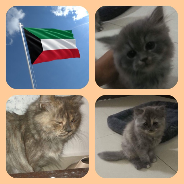 Egypt Qatar And Kuwait Ride Sponsorships Specialty Purebred Cat Rescue