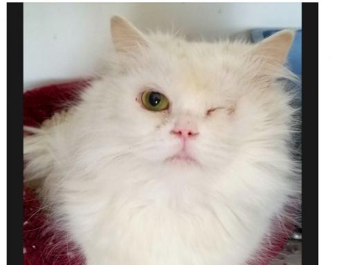 Kenosha-based purebred rescue helps cats from around the world
