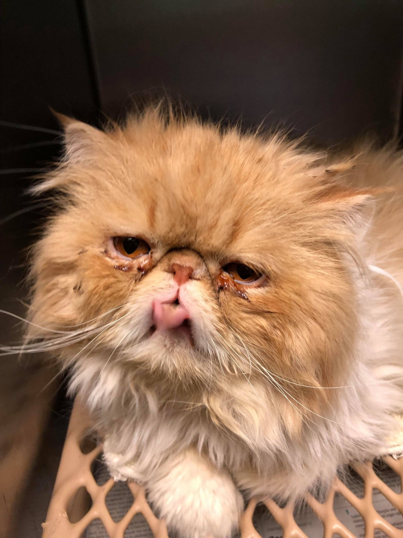 Michigan Persians - Specialty Purebred Cat Rescue
