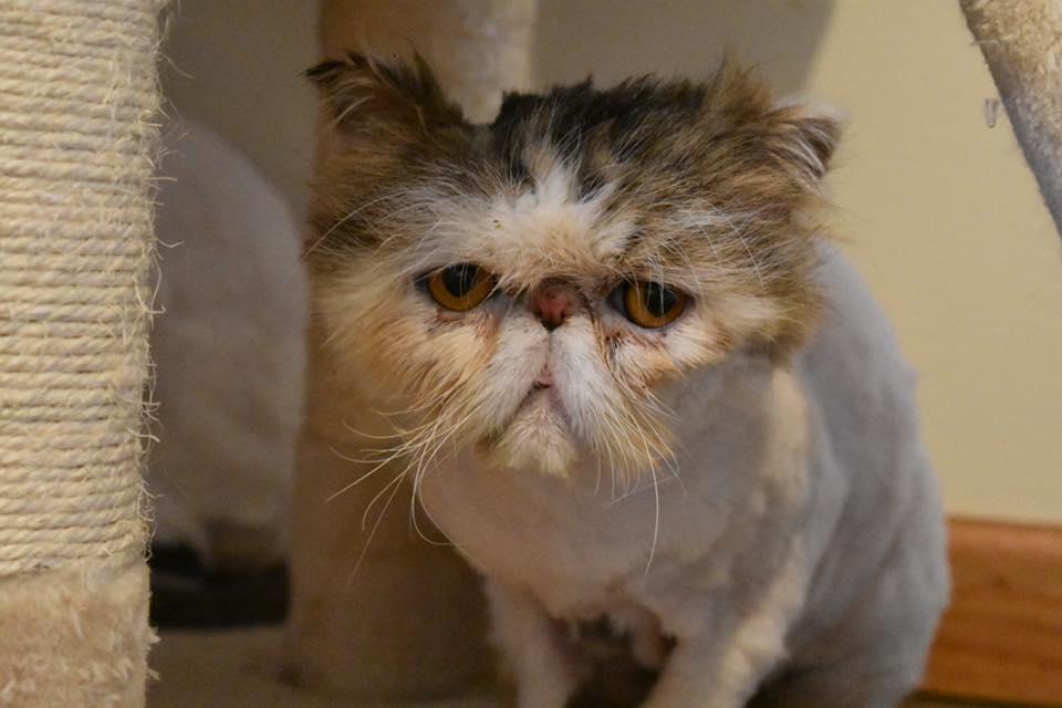 Michigan Persians Specialty Purebred Cat Rescue