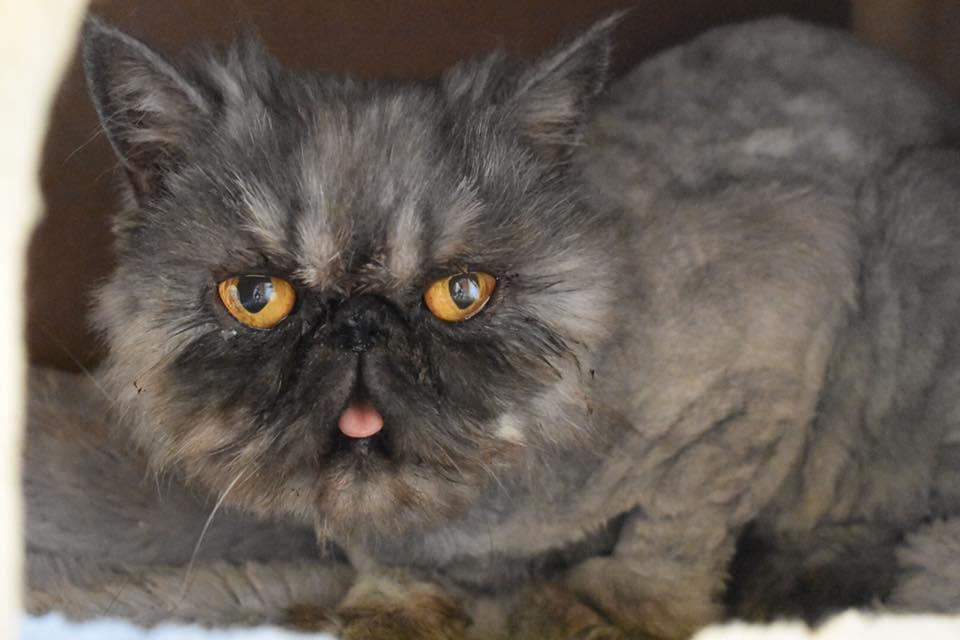 Sponsor My Rescue – Specialty Purebred Cat Rescue
