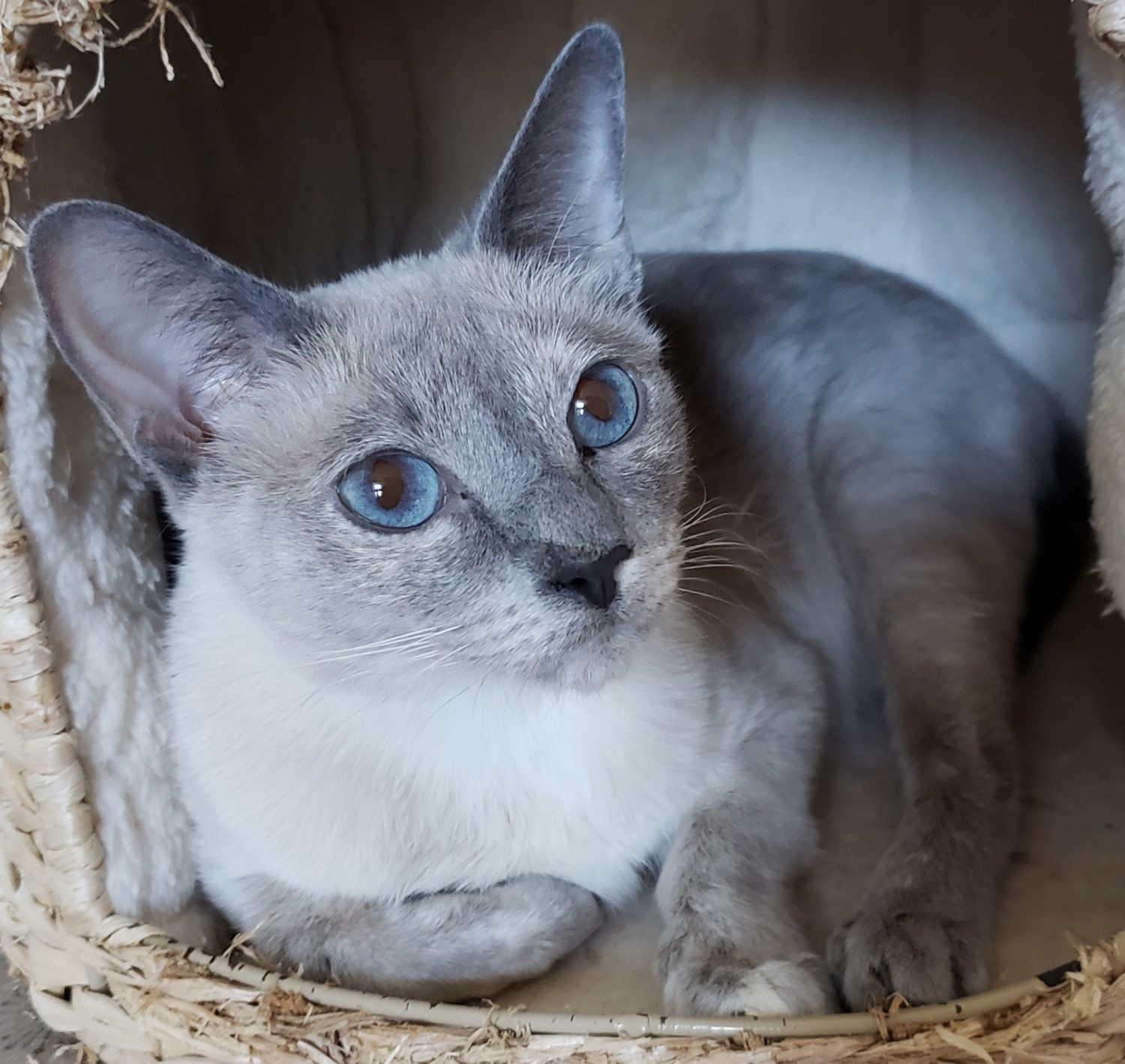 Sarabelle Specialty Purebred Cat Rescue