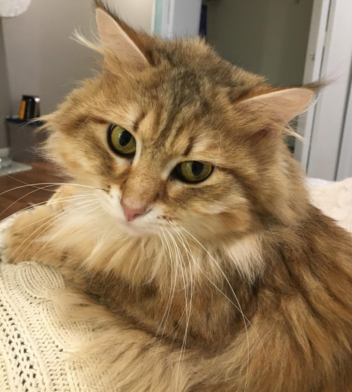Finnley – Specialty Purebred Cat Rescue