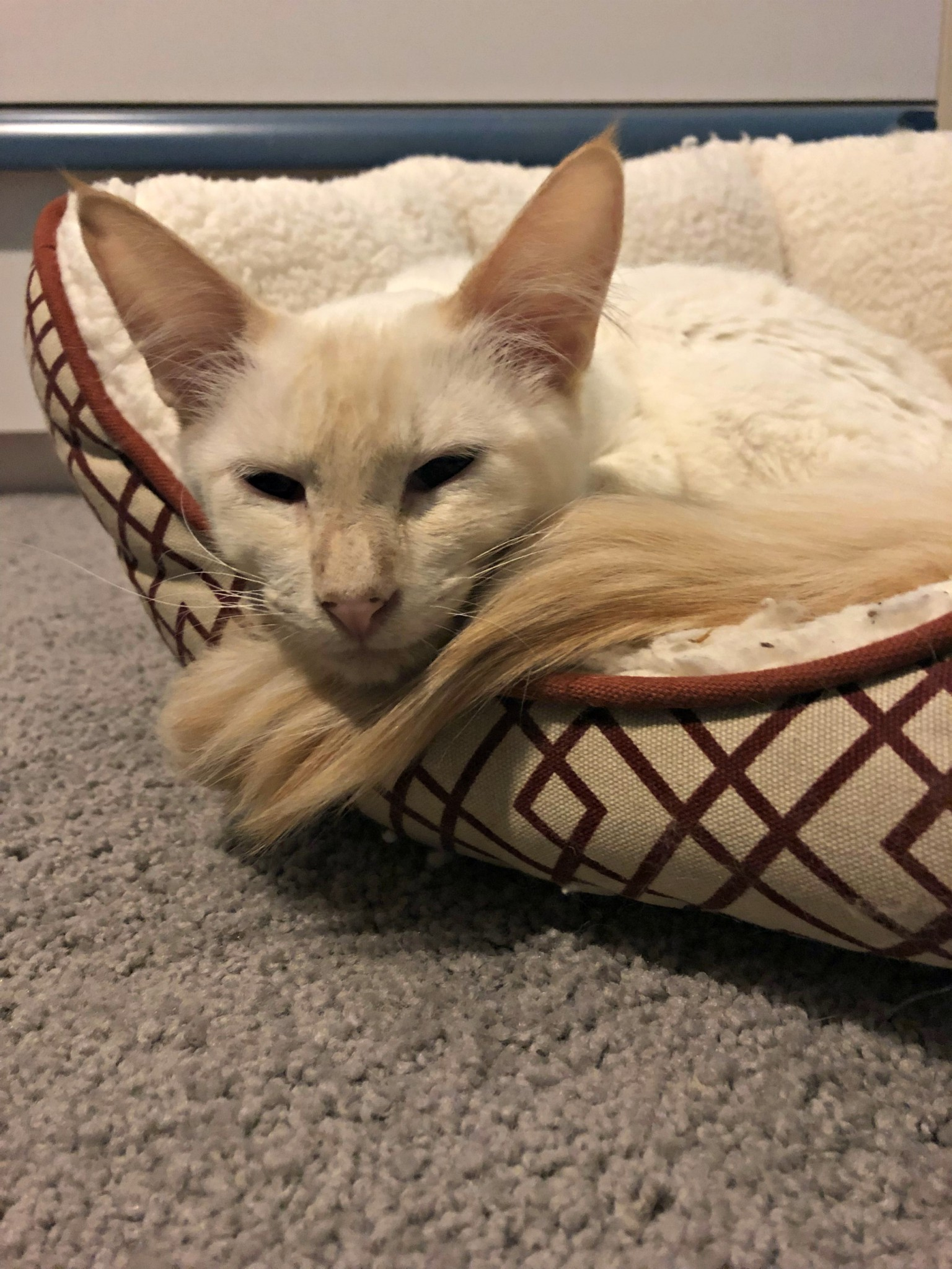 Ember – Specialty Purebred Cat Rescue
