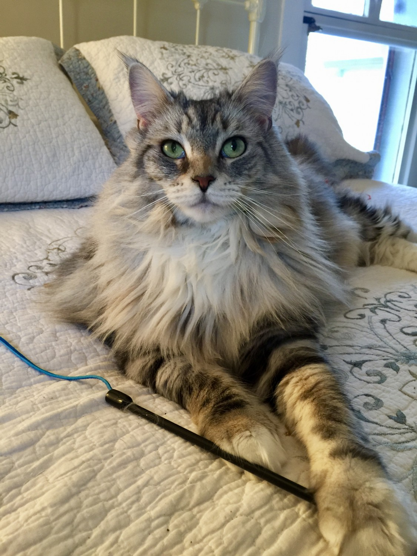 Sylvie Specialty Purebred Cat Rescue