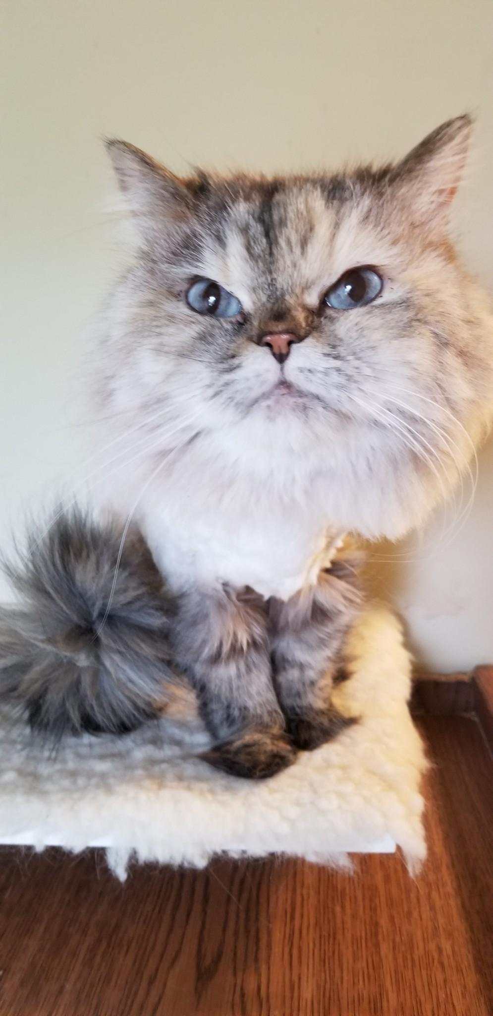 Zoe – Specialty Purebred Cat Rescue