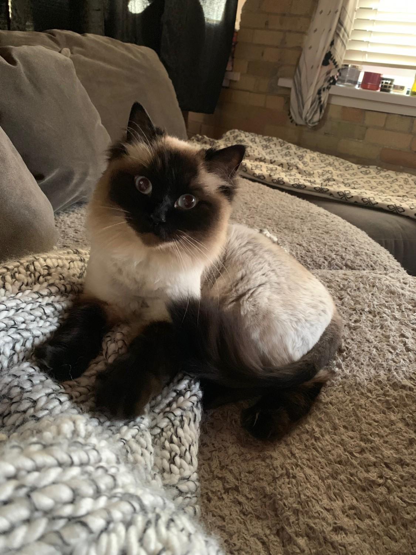 Coco Specialty Purebred Cat Rescue