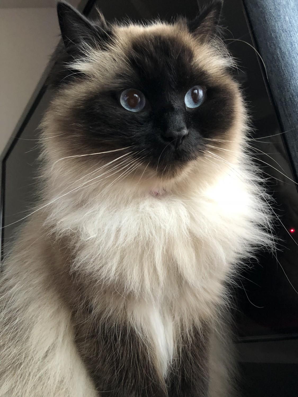 Coco – Specialty Purebred Cat Rescue