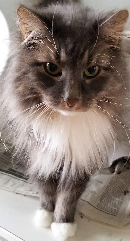 Reddy Specialty Purebred Cat Rescue