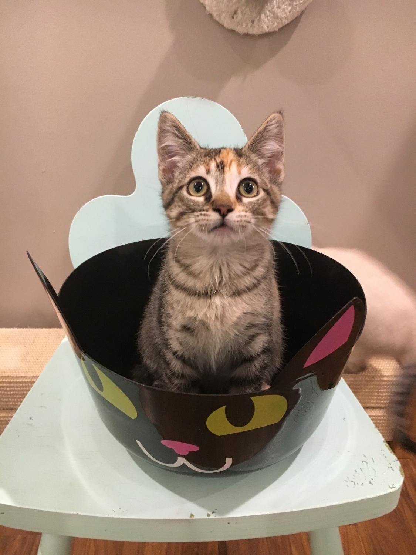 Chai – Specialty Purebred Cat Rescue