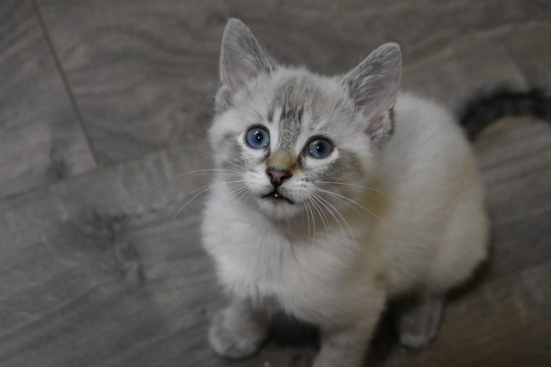 Posie Specialty Purebred Cat Rescue