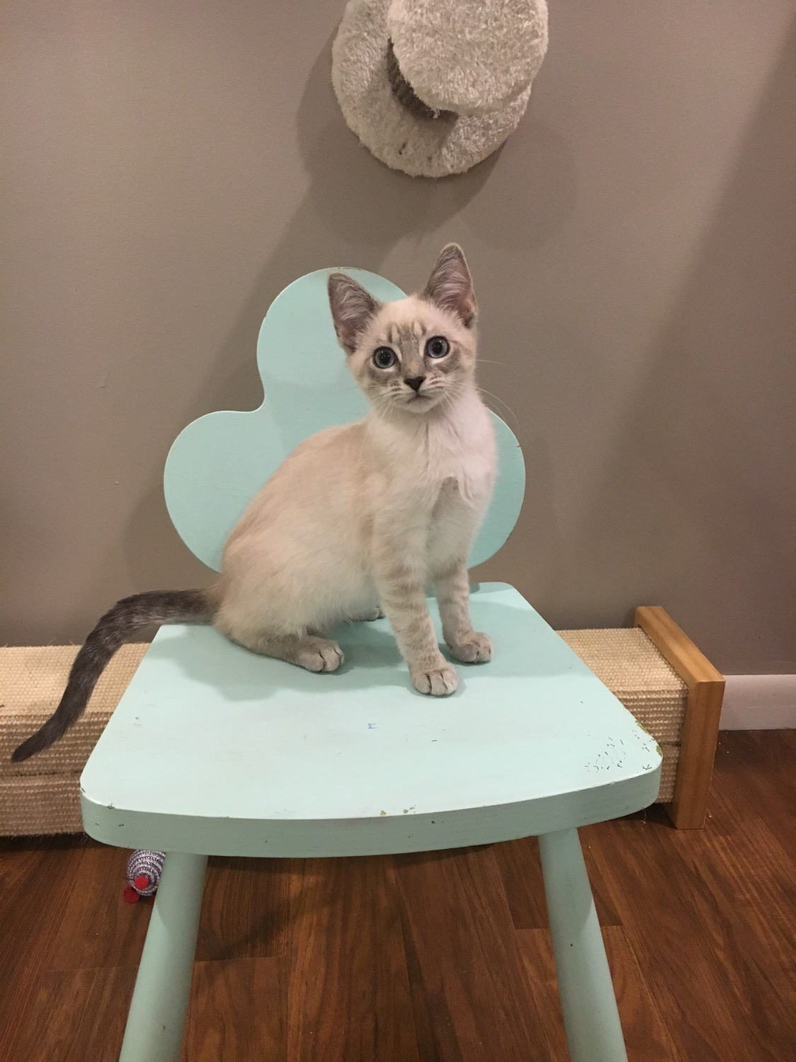 Available Cats Specialty Purebred Cat Rescue
