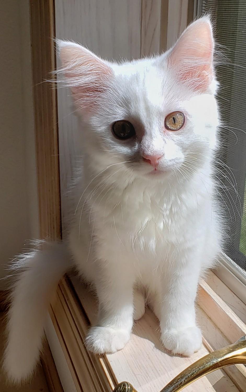 Fae – Specialty Purebred Cat Rescue