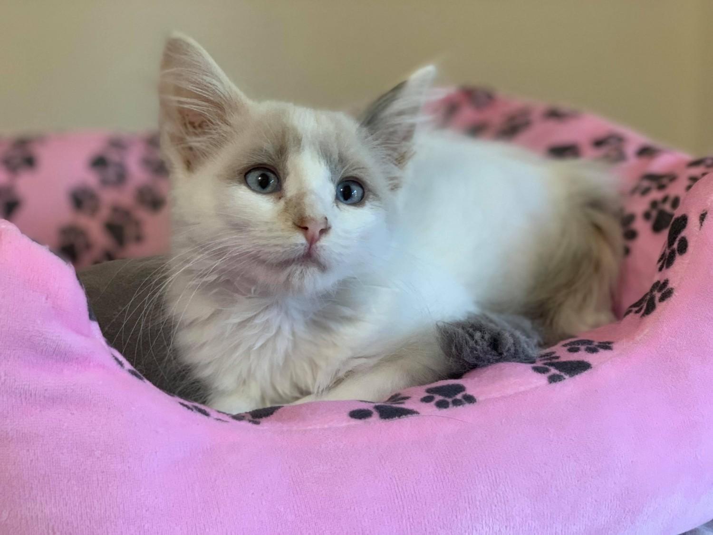 Nebula Specialty Purebred Cat Rescue