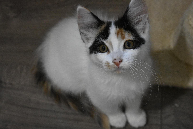Carina – Specialty Purebred Cat Rescue