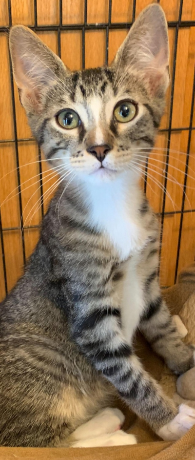 Available Cats – Specialty Purebred Cat Rescue