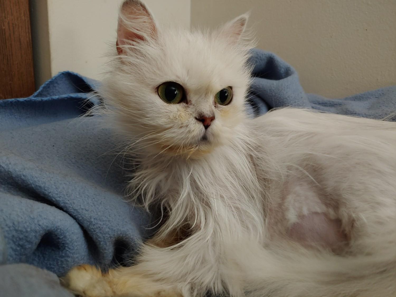 Cleo – Specialty Purebred Cat Rescue