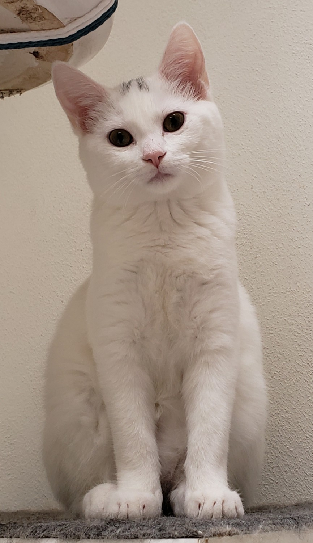 Gem – Specialty Purebred Cat Rescue