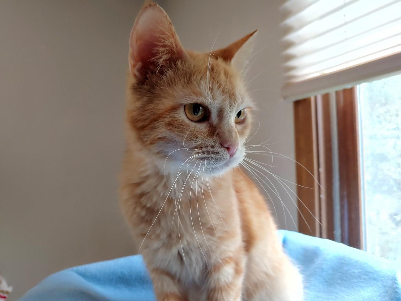 Apollo – Specialty Purebred Cat Rescue