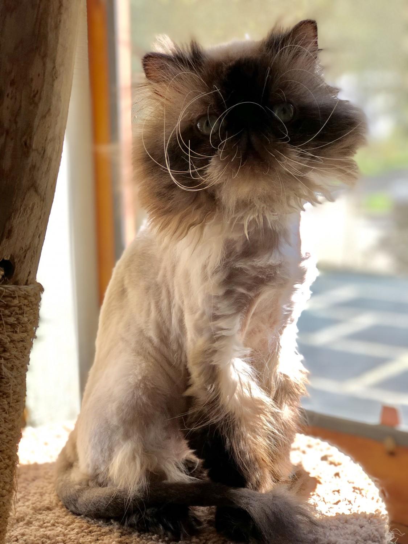 Mr. Big – Specialty Purebred Cat Rescue