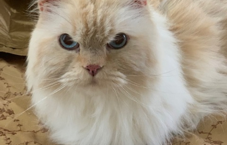 Specialty Purebred Cat Rescue – Rescue dedicated to finding