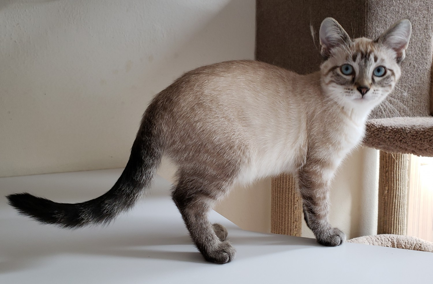 Lyjah – Specialty Purebred Cat Rescue