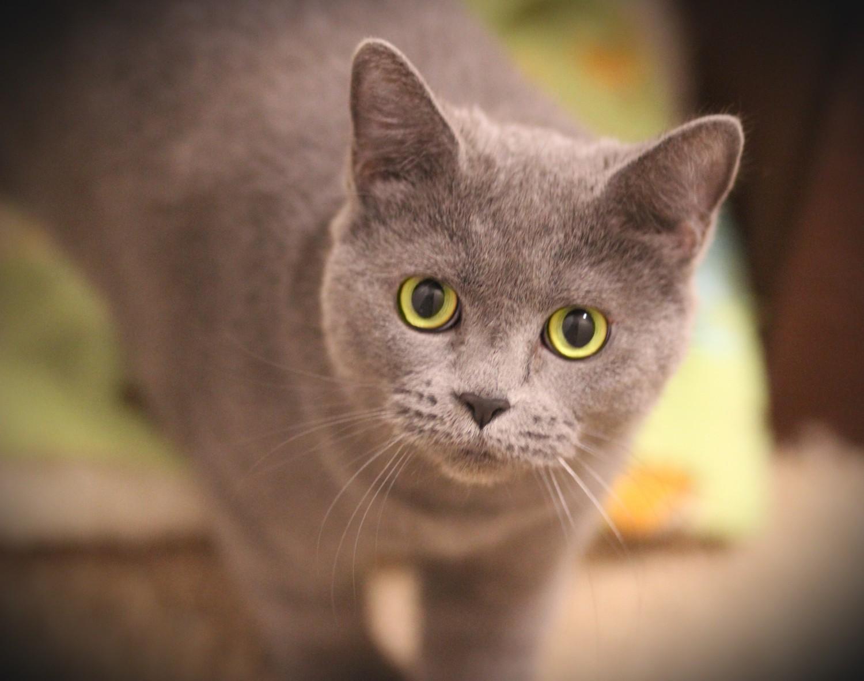 LuLu – Specialty Purebred Cat Rescue
