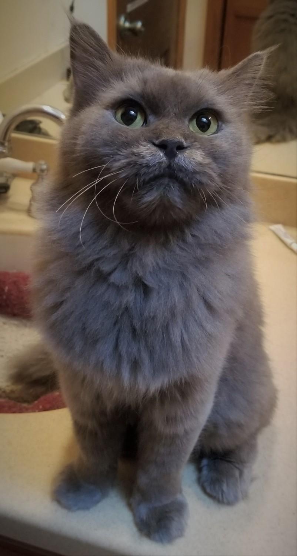 Daisy – Specialty Purebred Cat Rescue