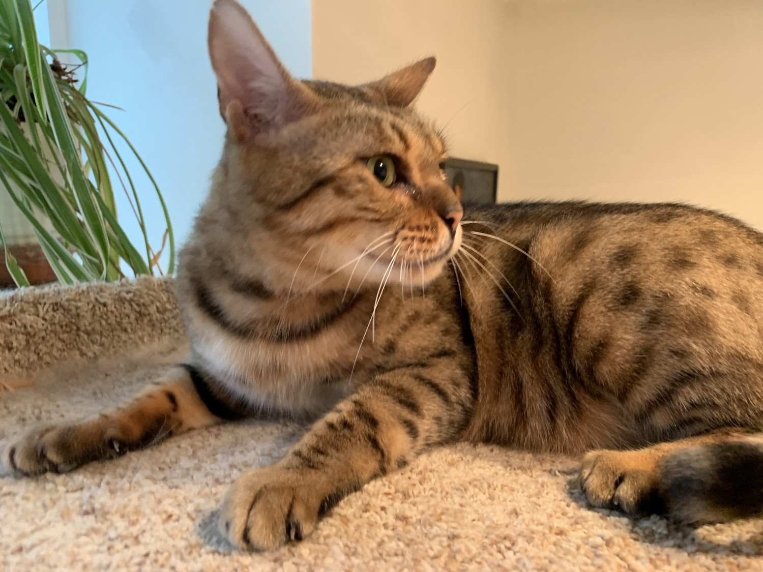 Florence – Specialty Purebred Cat Rescue